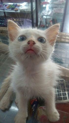 Hermoso Gatico En Adopción Siamés Con Angora
