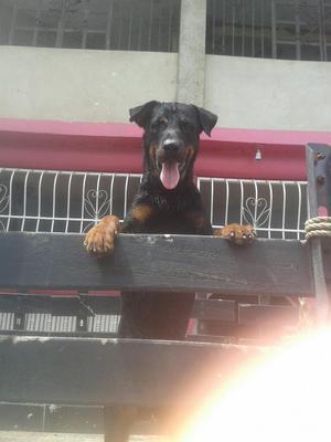 Rottweiler, Busca Novia
