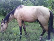 se vende caballo bayos