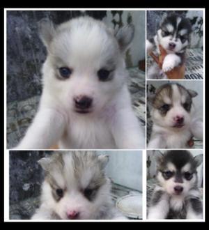 Cachorros Malamute Lobo Siberiano