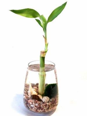 Bambu Natural Lucky