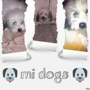 Perro Lhasa Apso en Adopción
