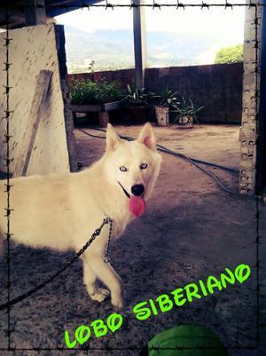 Vendo Lobo Siberiano