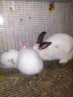 conejos para padrotes