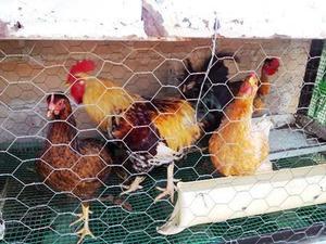 venta de gallinas criollas y gallos chongos, santo domingos,