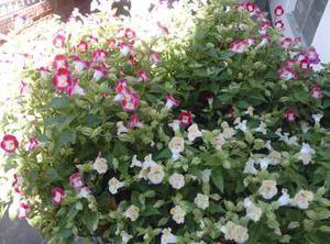 500 Semillas Flores Jardin Pensamiento Viola Mas Obsequio