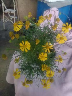 Semillas Jardin Flores Plantas Manzanilla Amarilla Helenium