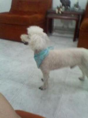 Perro Poodle Blanco Busca Novia