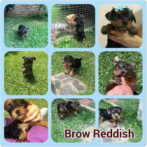 Cachorros Con Pedigree Yorkshire Terrier Yorkis Negrosfuego