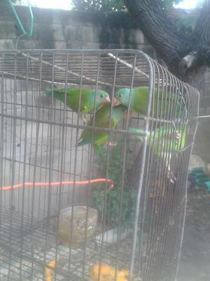 Aves Caseras