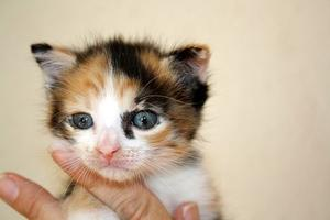 Gatito Calico Discapacitado
