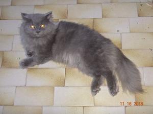 Vendo Gato Persa Macho 2 Años