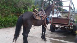 vendo caballo zaino de coleo, potro, potra, yegua