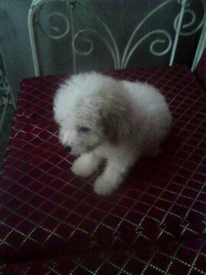 Vendo 2 Cachorros Poodler Toy