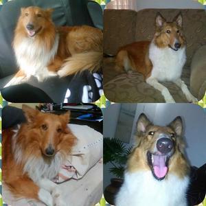Cachorros Collies en venta Lassie MONAGAS