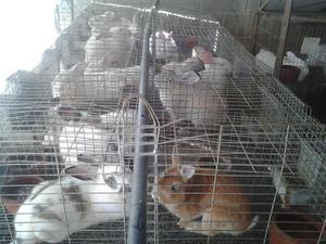 conejos padrotes listo para monta de alta genetica