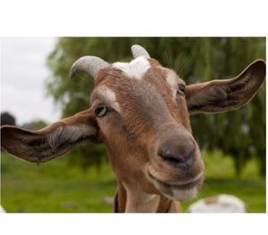 Busco comprar cabras lecheras