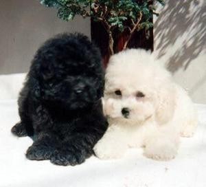 Cachorro Poodler Toy