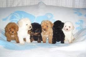Se Busca Cachorro Poodle Mini Toy Para Adoptar