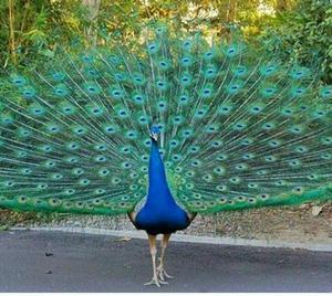 Vendo aves pavo real blanco posot class - Fotos de un pavo real ...