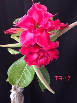 10 Semillas Cultivo Flores Adenium Obesum Rosa Del Desierto