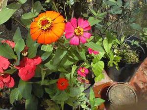 100 Semillas Flores Cultivo Jardin Zinnia Elegans Obsequio