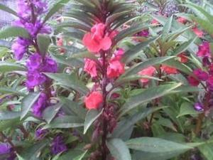 Semillas De Flores Conejas  Bs.