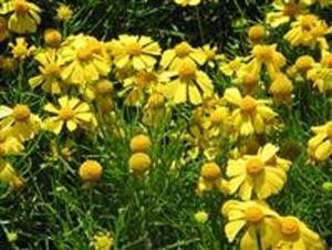 Semillas Jardin Flores Cultivo Plantas Manzanilla Helenium