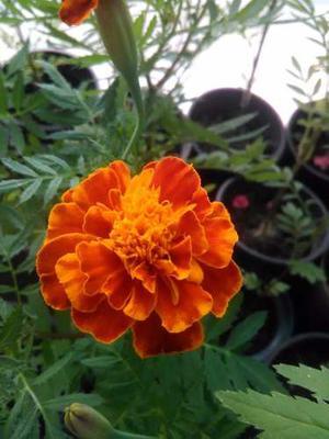 Semillas Plantas Flores Jardin Cultivo Marigold Obsequio