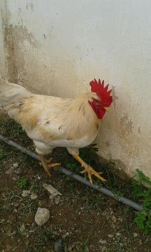Pollos Y Gallos Vivos
