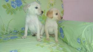 Lindas Labradores