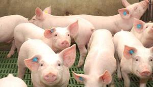 Alimento Balanceado Para Cerdos