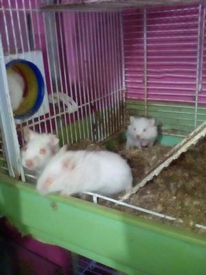 Hamster a La Venta Solo Maturin