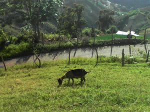 Venta de lote de cabras. Ubicacion Tachira