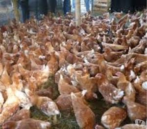 a la venta alimento para gallinas ponedoras