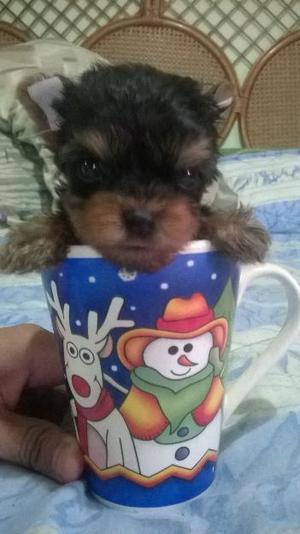 Vendo YorkShire terrier Tea Cup