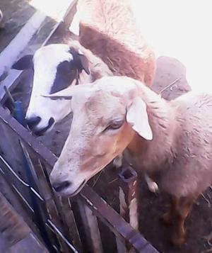ovejos y ovejas