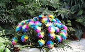 100 Semillas De Crisantemos Bellos Multicolor Se Dan Fácil