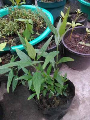 Plantas Semillas Cultivo Jardín Flores Tilo