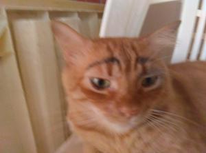 Gato Con Pelaje De Oro, Gordo Y Jugueton