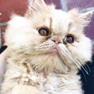 Gato Persa Gatos Raza