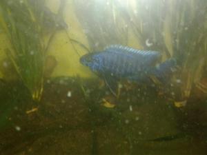 Ciclidos Africanos Ahli Haplochromis Ahli