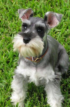 venta cachorros schnauzer