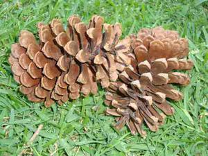 Vendo pi as de arbol de pino decoradas a mano posot class - Pinas de pino para decorar ...