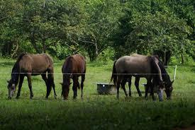 en venta caballos criollos