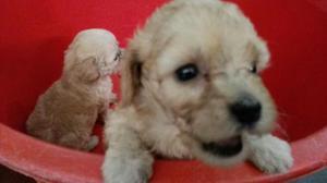 Cachorros Poodles Mini Toy