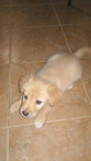 A La venta Hermoso Cachorro Golden Retriever