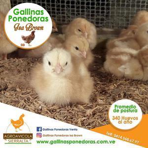 Gallinas Ponedoras Isa Brown