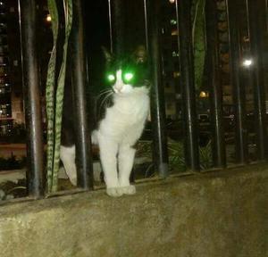 Hermoso Gato En Adopciòn Blanco Con Negro
