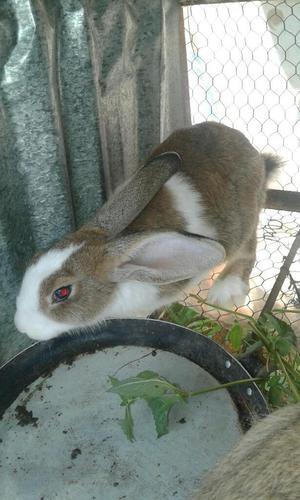 Conejos Gigantes para Cria